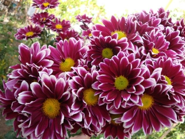 градински-цветя
