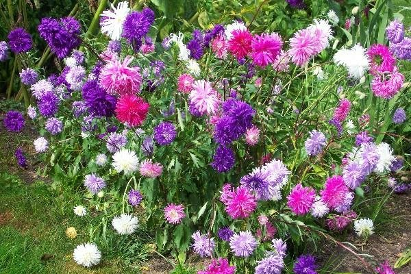gradinski cvetq