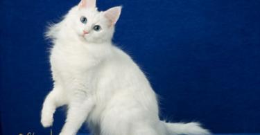 Ангорска котка