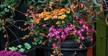 есенната хризантема