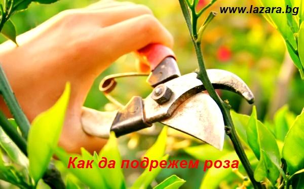 как-да-подрежем-роза