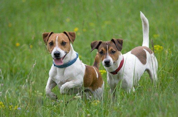 малки-породи-кучета