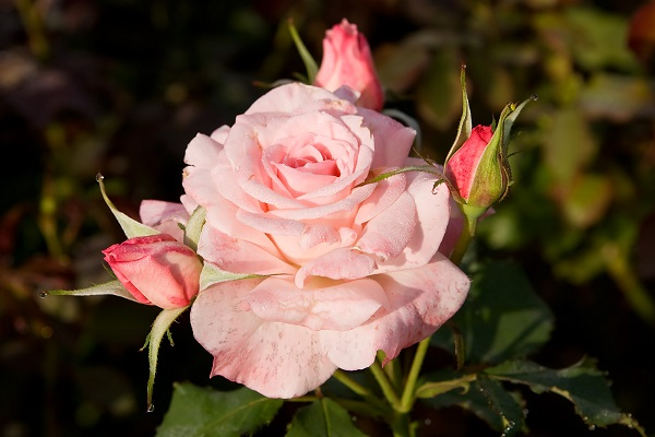 как да подрежем роза