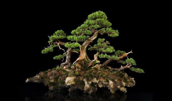 otglejdane na bonsai