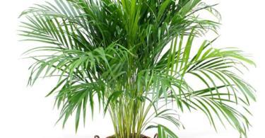 палма-арека-3