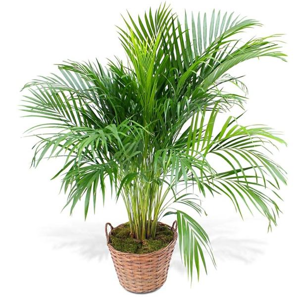 palma areka