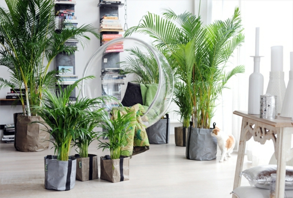 палма арека