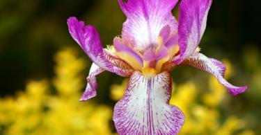 цвете-ирис-2