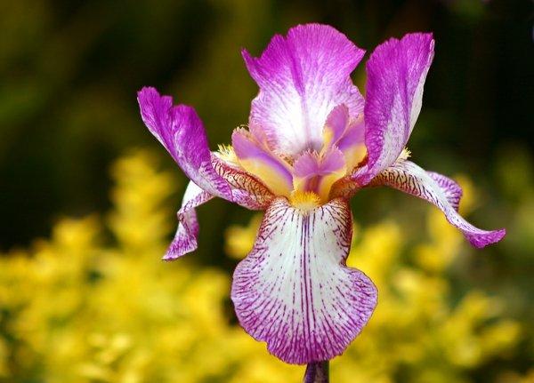 cvete iris