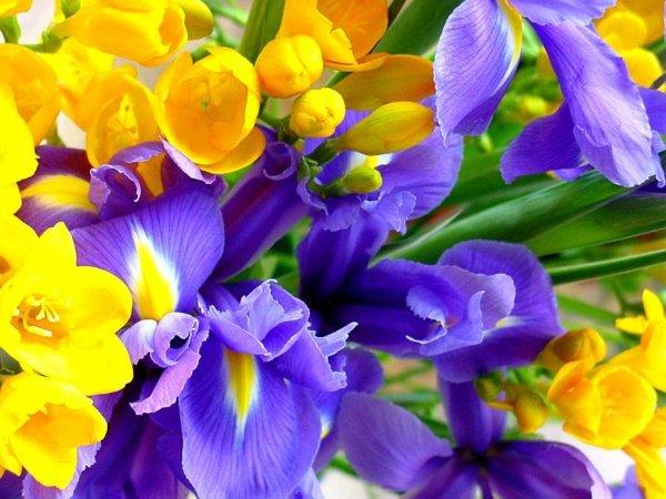 цвете ирис