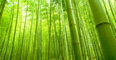 oтглеждане-на-бамбук