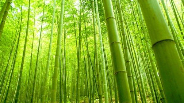 отглеждане на бамбук