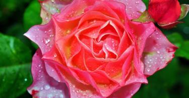 българска-роза-2