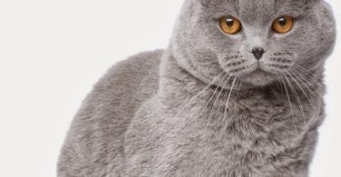 кастрация-на-котка