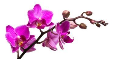 орхидея-дендробиум