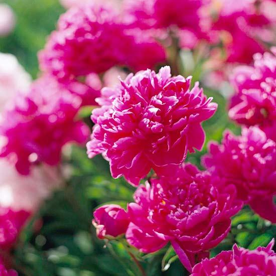 цветя-за-градината