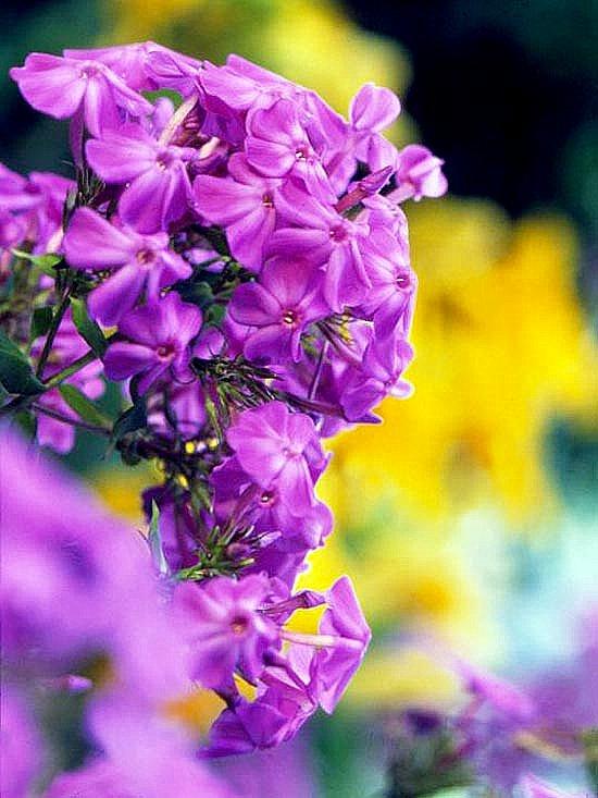 cvetq za gradinata