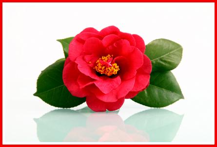 камелия цвете