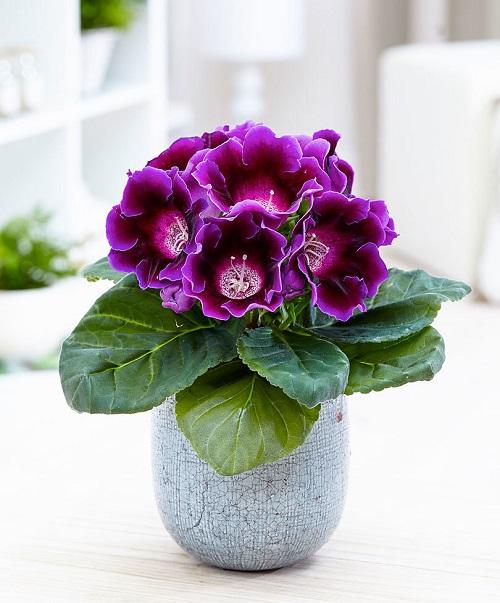 kamenno cvete otglejdane