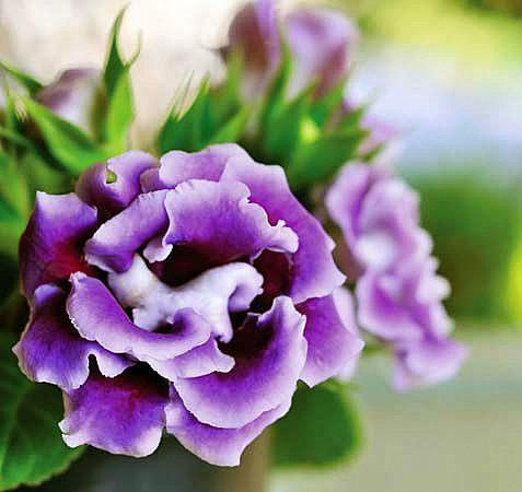 каменно цвете
