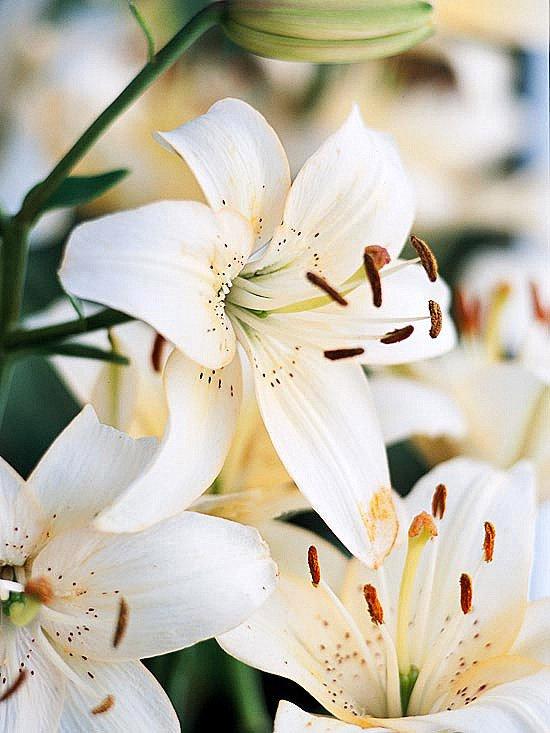 gradinski letni cvetq