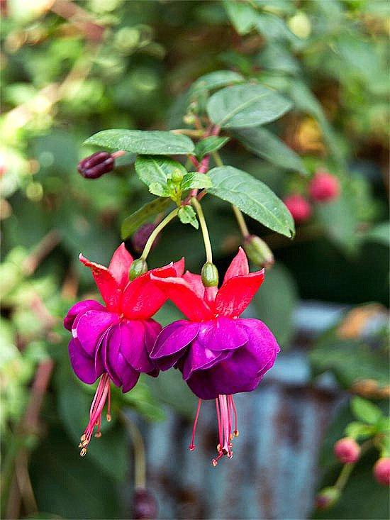 сенчестолюбиви цветя