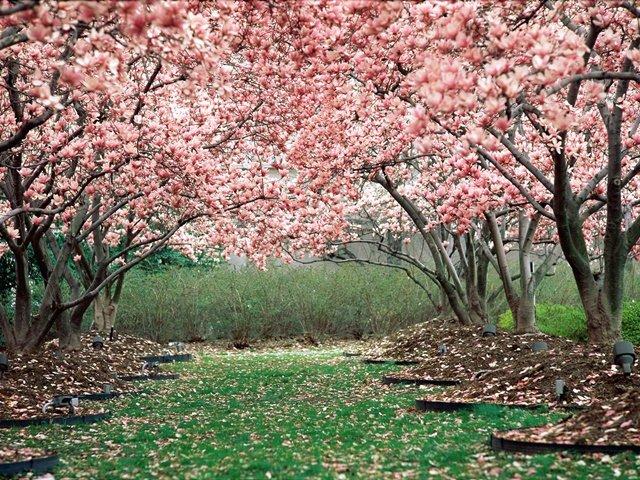proletni peizaji s magnolii