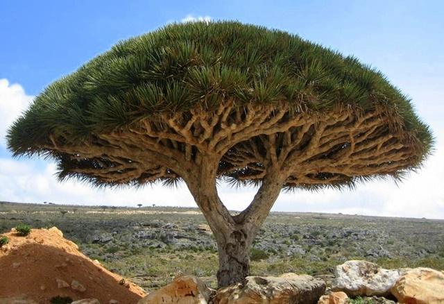 декоративни дървета