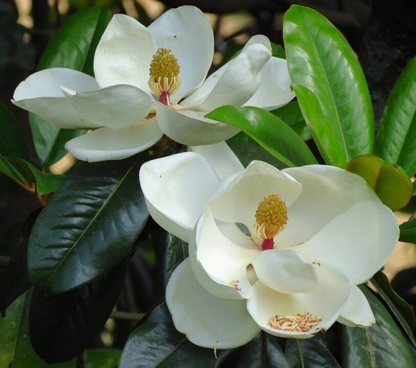 bqla magnoliq otglejdane