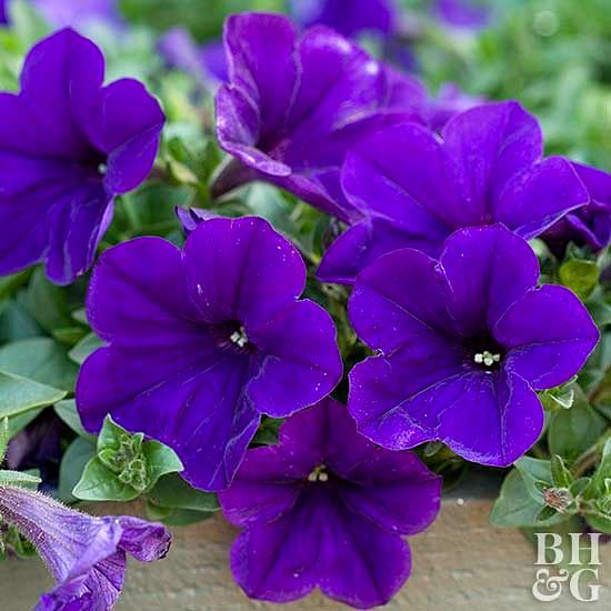 Издръжливи цветя градината петунии
