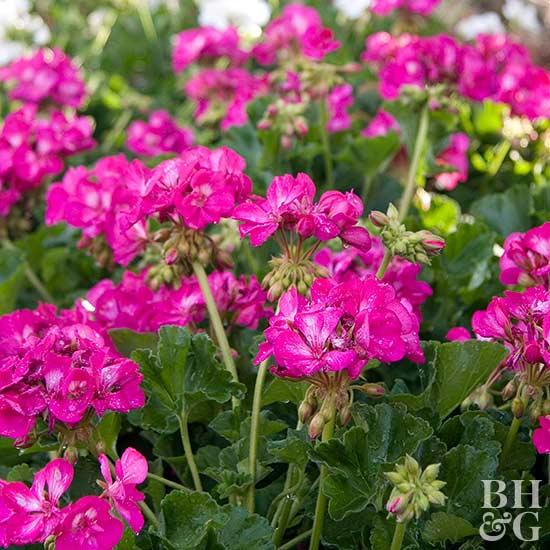 cvetq za gradinata mushkato