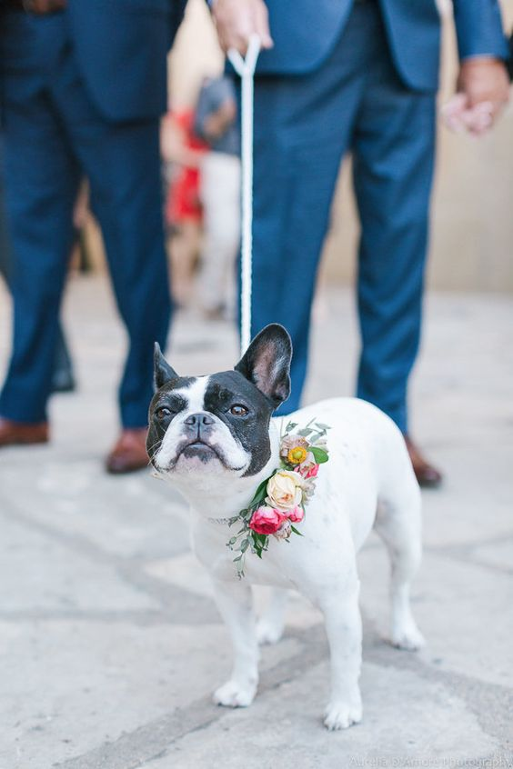 kuche frenski buldog na svatba