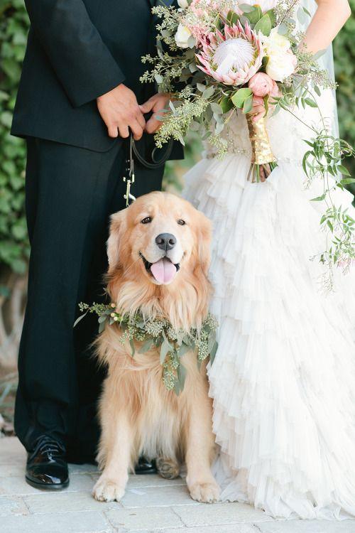 goldan retrivur na svatba