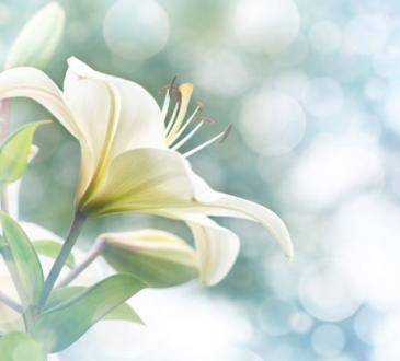 sunovnik cvetq