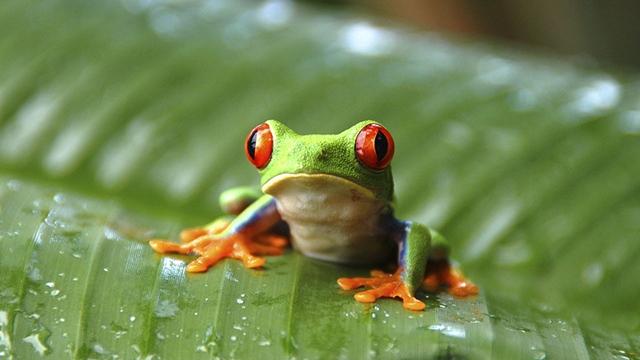 Съновник:Жаба/жаби