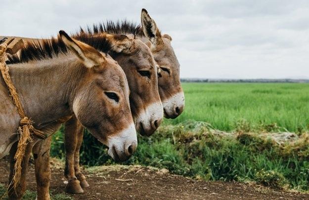 sunovnik magare