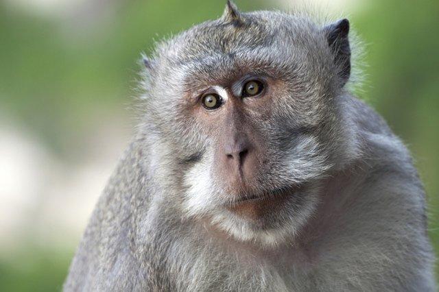sunovnik maimuna