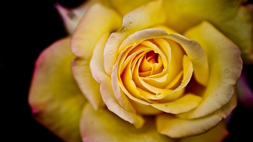 sunovnik rozi